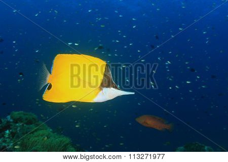 Tropical fish: Longnose Butterflyfish