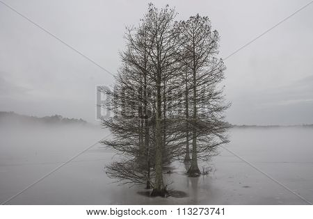 Group of Bald Cypress Trees in Fog and Ice