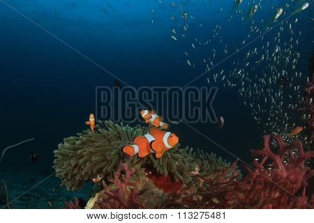 False Clown Anemonefish coral reef underwater