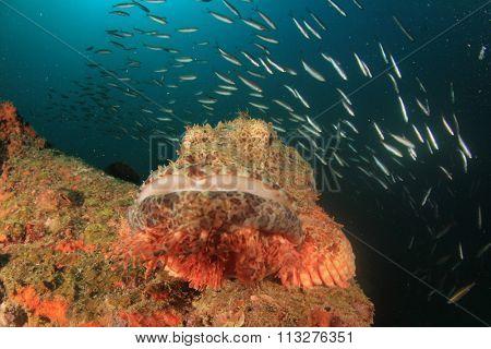 Scorpionfish stonefish fish