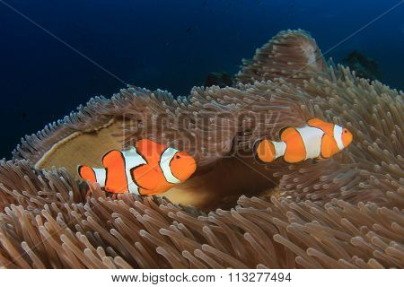 Clownfish Anemonefish  fish