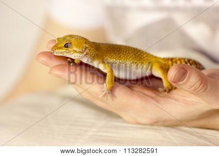 Cute Gecko Heating In Hands