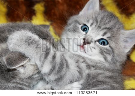 little kitty of Scottish Straight breed