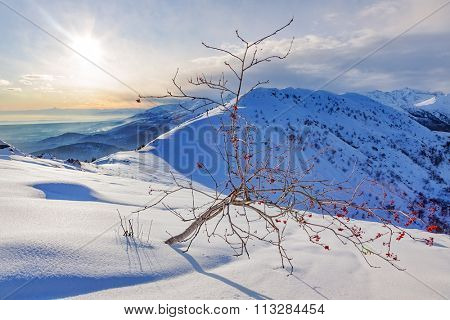 Whitebeam tree (Sorbus aria) in a snowy mountain landscape. Winter season, sunny day. Biella, Western European Alps.