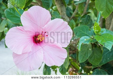 Closeup Beautiful Pink Flower In The Garden Background