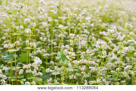 The Field Of Blooming Buckwheat