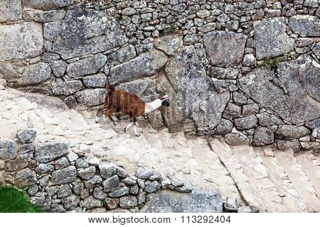 lama on the stairs at Machu Picchu