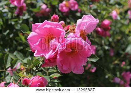 Beautiful tall Pillar roses, a mature bush all branched-out.