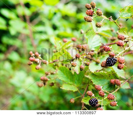 Ripening Of The Blackberries