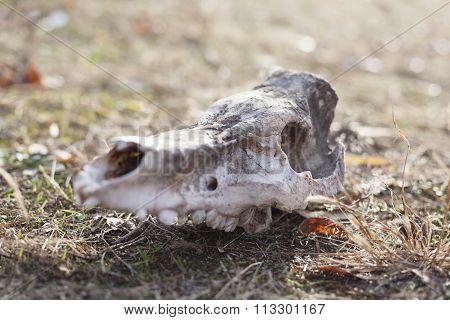 Animal's Skull