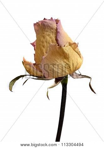 Faded Withered Rose Flower Isolated On White