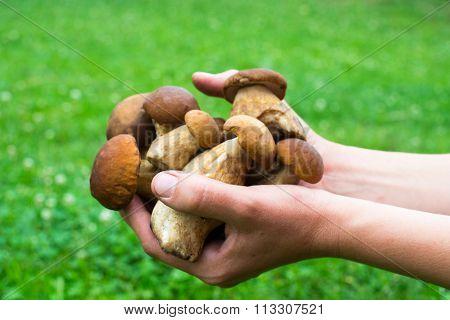 Handful Of Porcini Mushrooms