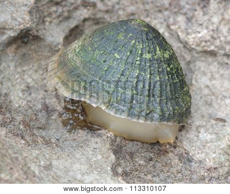 Common Limpet (Patella vulgata) on shore with foot exposed
