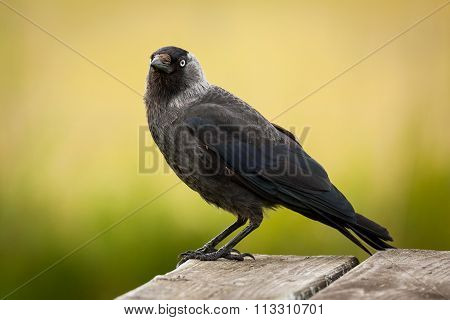 Western jackdaw (Corvus monedula) sitting on table