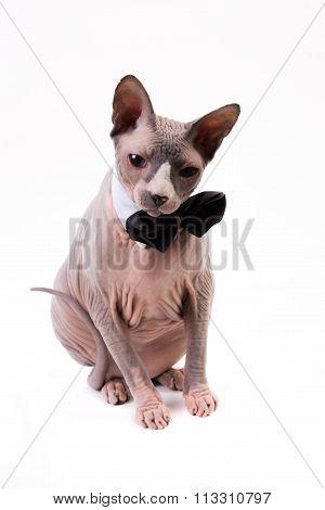 Sphynx Cat In Bowtie Collar