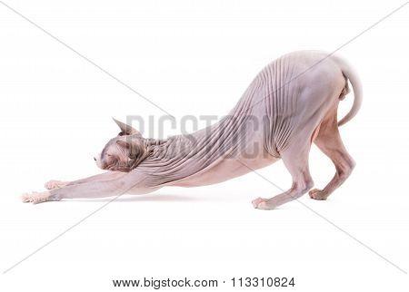 Sphynx Cat Streching On White Background