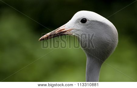 Blue Crane Anthropoides paradiseus head