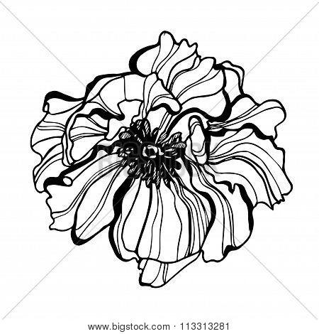 Vector flower scetch detailed hand drawn poppy flower.