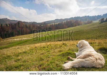 Shepherd Dog Guarding A Sheep Flock
