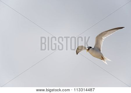 Least Tern Wings High