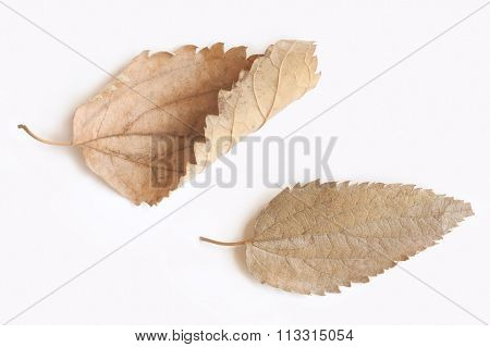 Two dry leaves isolated on white background