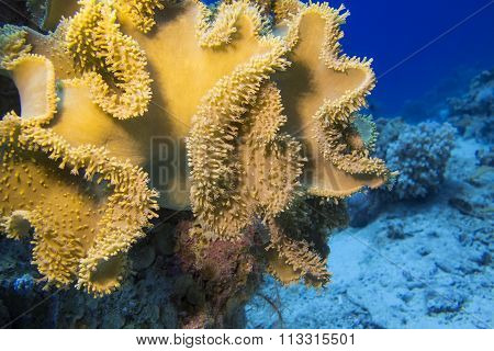 Coral Reef With Great Yellow Mushroom Leather Coral , Underwater