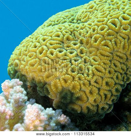 Coral Reef With Brain Coral Inf Tropical Sea, Underwater