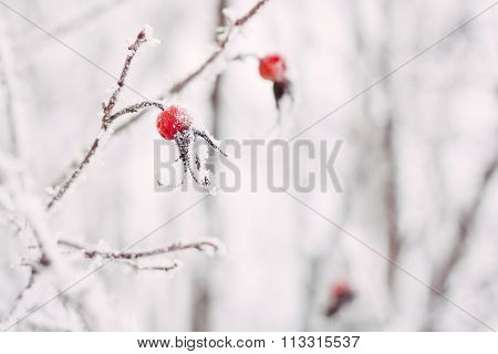 Dog rose hips berries in the snow closeup