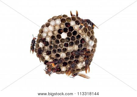 Wasp Nest Isolated On White, With Wasps Working And Feeding The Larvae.