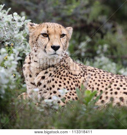 wild cheetah, South Africa.