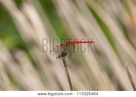 Common Glider Dragonfly