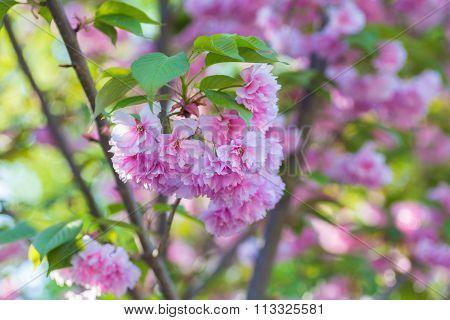 Malus pumila apple-tree in small DOF