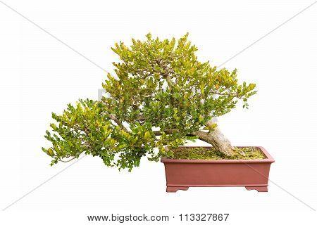 Bonsai Tree Of Chinese Littleleaf Box