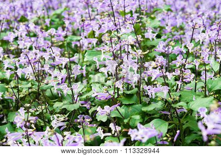 Purple Flower In The Garden (plectranthus Mona Lavender Flowers)