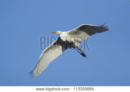 Great Egret Flying In Blue Sky