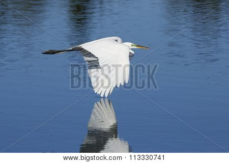 Great Egret Flying Low Above Water