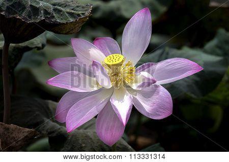 Lotus stamen shine