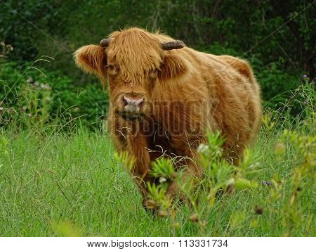 Furry cow in green pasture