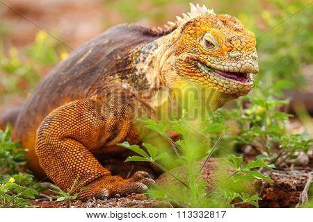 Galapagos Land Iguana On North Seymour Island, Galapagos National Park, Ecuador