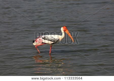 Painted Stork in Kolleru bird sanctuary in Andhra Pradesh, India