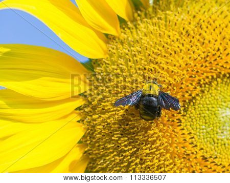 Carpenter Bee On Blooming Sunflower