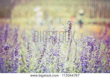 Soft Focus Blue Salvia Flower On Vintage Pastel Background