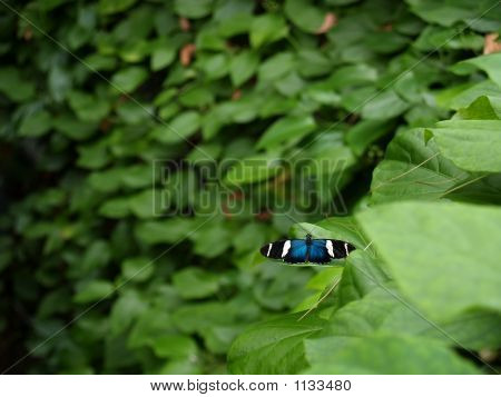 Sara Longwing (Heliconius Sara) Butterfly