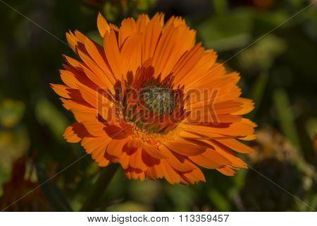 Calendula Officinalis Greenheart Orange In Garden Bed