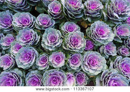 A lot of Mangenta Cabbage (Brassica Oleracea Capitata Group)