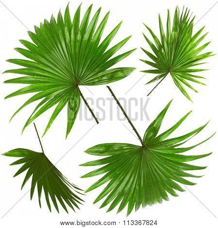 Palm  leafves (Livistona Rotundifolia palm), isolated on white