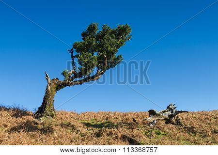 Ancient Laurel Tree Under A Blue Sky