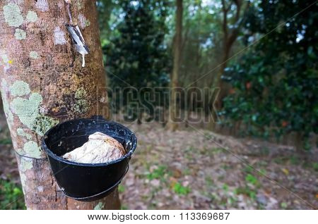 Rich The White Rubber Tree