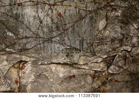 Grape Vine On Stone Wall