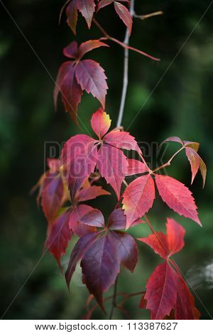 Twig Of Red Grape Branch
